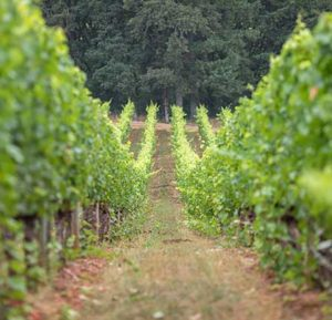 Vineyard and Trees